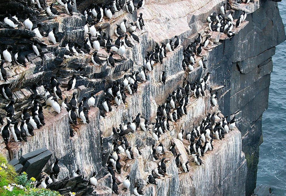 Большое скопление птиц на скалах называют: