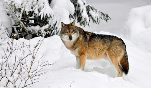 Как называется жилище волка?
