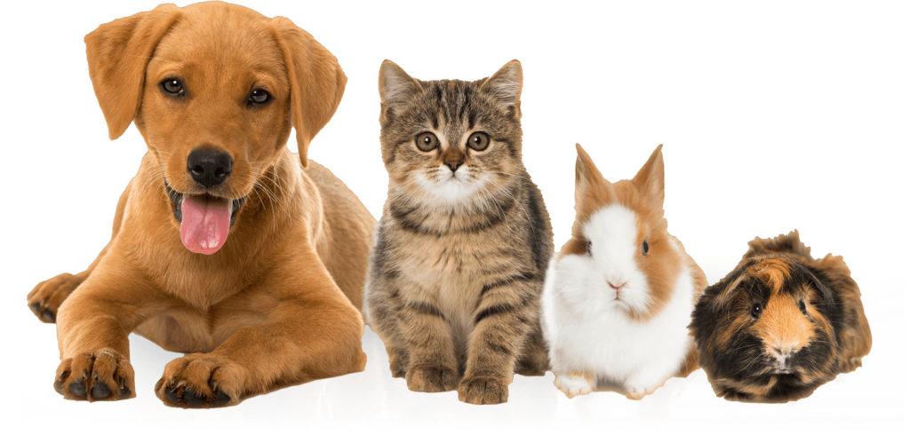 Какое из этих животных не бывает ангорской породы?
